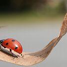 Ladybug II by Tamara Brandy