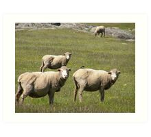 Roly Poly sheep in our paddock. 'Arilka' Adelaide Hills, Sth. Aust. Art Print