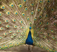 Gilded Peacock by kalaryder