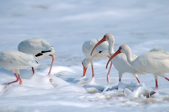Ibis in Snow? by Donna Adamski