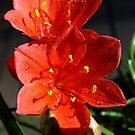 Valotta Speciosa (Scarborough Lily) by Bev Pascoe