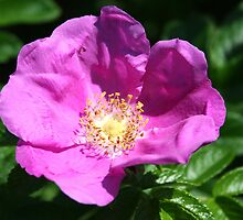 Wild Rose by Laurel Talabere
