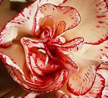 Carnation by Tomas Abreu