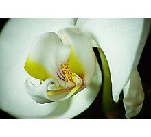 PHALAENOPSIS ORCHID Photographic Print