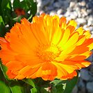Bright Orange Marigold In Bright Sunlight by taiche
