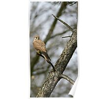 Common kestrel Poster