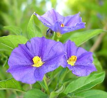 Blue Solanum 'Royal Robe' by taiche
