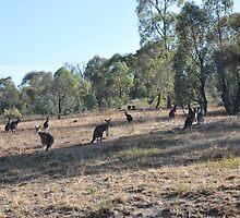 Urban Kangaroos by Phemie