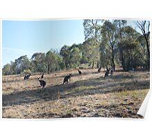 Urban Kangaroos Poster