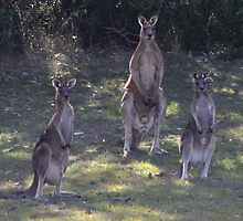 The 3 Kangaroos by Sprinkla