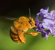 Teddy Bear Bee by Cawi