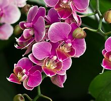Pink Orchid by reneh