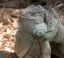 Iguana in Loro park tenerife by Keith Larby