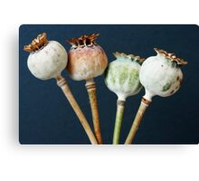 Poppy seed pods Canvas Print