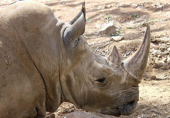 Square-lipped Rhinoceros by Rina Greeff