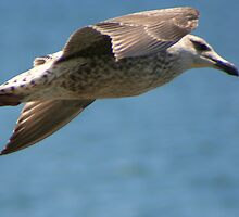 Seagull in Flight by Laurel Talabere
