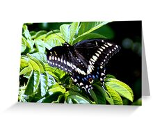 Eastern Black Swallowtail Butterfly with Wings Spread Greeting Card