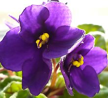 African Violets by Veronica Schultz