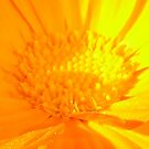 Marigold in Macro by taiche