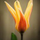 Tulip by JEZ22