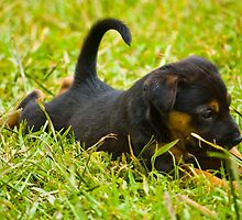 Cute puppy by mellielee