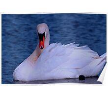 Swan on Lake Poster