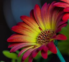 Red Yellow Flower by John Velocci