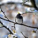 Northern Junco in a Blossoming Pear Tree on a Snowy Day by Catherine Sherman