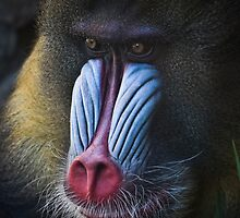 the Mandrill by Lisa  Kenny