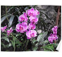 Beautiful pink orchids Poster