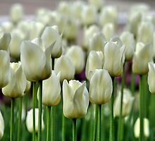Tulips in Toronto in April by AnnDixon