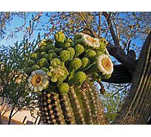 Sagauro Cactus Flowers Photographic Print