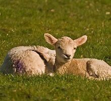 Spring Lambs by Steve  Liptrot