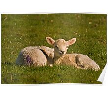 Spring Lambs Poster