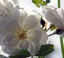 White Roses by Ruth Durose