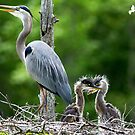 Great Blue Heron and Young by Photography by TJ Baccari