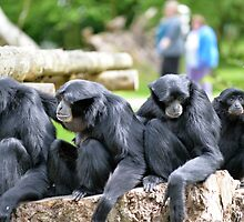 Siamang Gibbon family relaxing in fota wildlife park by morrbyte