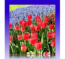 Dazzling Red Tulips and Brilliant Blue Muscari - Keukenhof Gardens Photographic Print