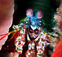 Mantis shrimp by M.M.S.W. Botman