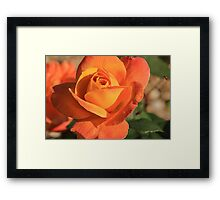 Peach Colored Rose Framed Print