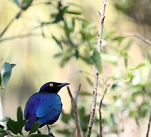 Yellow Eye Starling  Grackle by JonathanHunt