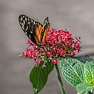 Tiger Longwing by PhotosByHealy