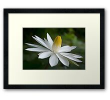 Night Bloomer ~ White Water Lily with Splayed Petals   Framed Print