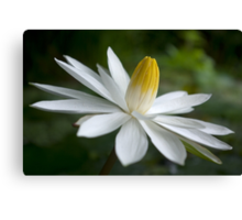Night Bloomer ~ White Water Lily with Splayed Petals   Canvas Print