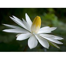Night Bloomer ~ White Water Lily with Splayed Petals   Photographic Print