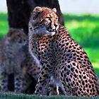 Cheetah Cub by miroslava