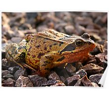 Toad on the Rocks Poster
