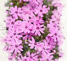 Phlox Flowers Watercolor Art by Christina Rollo