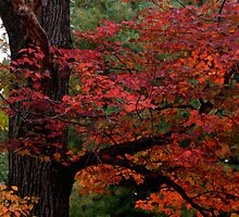 red leaves by ccmerino
