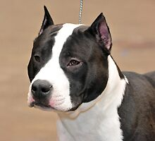 American Staffordshire Terrier by anibubble